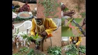 Medicinal Rice P5 Formulations for Nicotiana Toxicity: Pankaj Oudhia