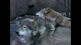 Волки воют
