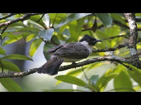 burung kutilang gacor - suara alami burung kutilang di alam bebas