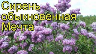 Сирень обыкновенная Мечта. Краткий обзор, описание характеристик syringa vulgaris Mechta