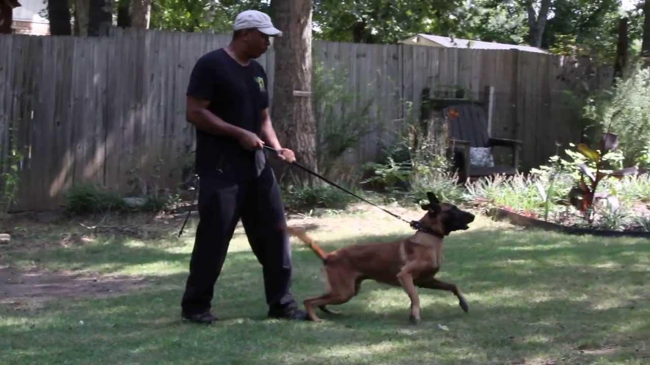 World Class K 9 Malo Belgian Malinois Personal Protection Dogs