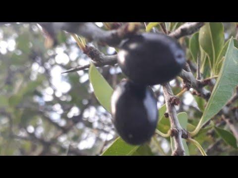 Fruta da caatinga. Quixaba