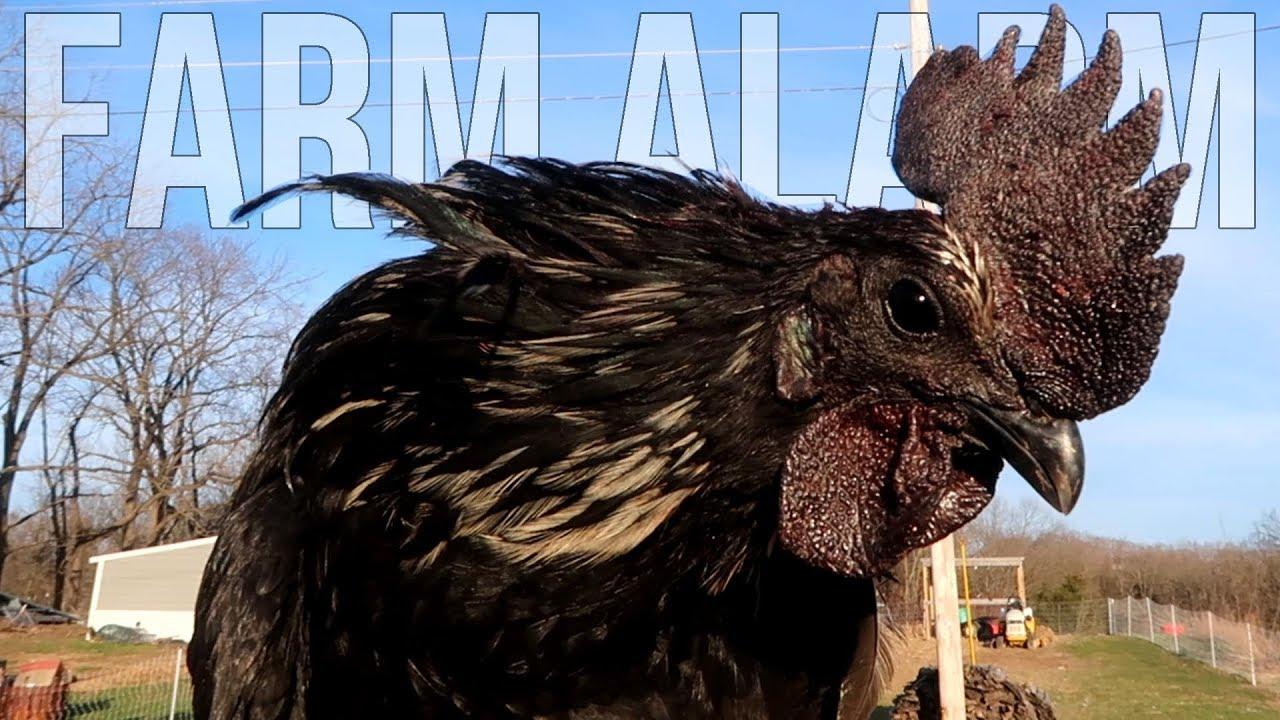 12 Rare Ayam Cemani hatching eggs