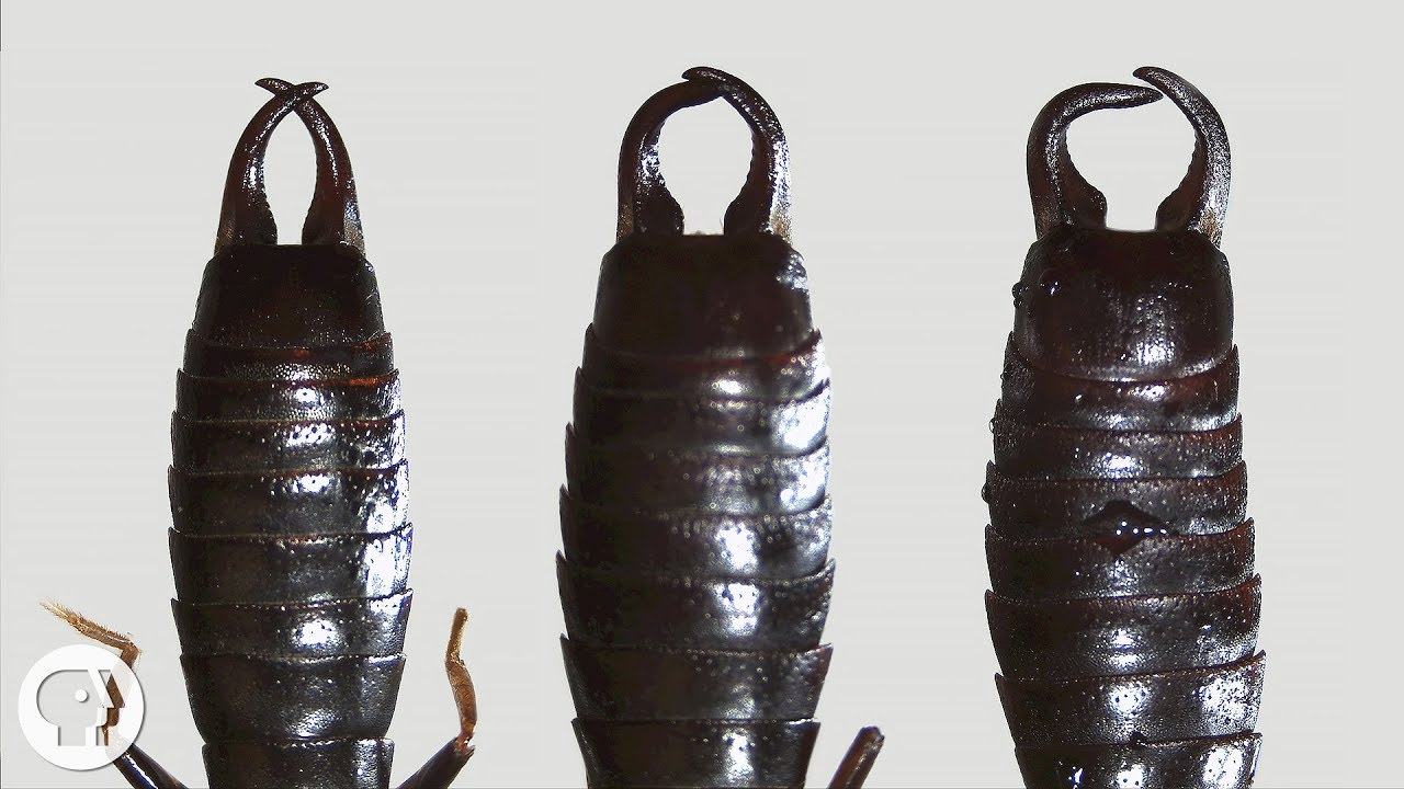 what-do-earwigs-do-with-those-pincers-anyway-deep-look