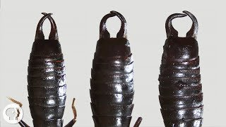What Do Earwigs Do With Those Pincers Anyway? | Deep Look
