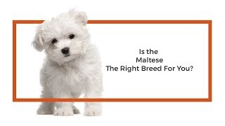 Everything you need to know about Maltese puppies! (2019)