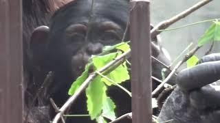 東山動植物園 チンパンジー 双子 双子の赤ちゃん.