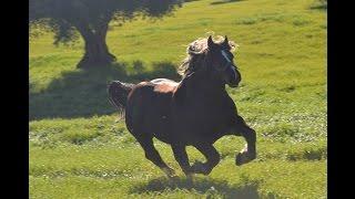 STALLONE Cavallo Agricolo Italiano da TPR : BENITO