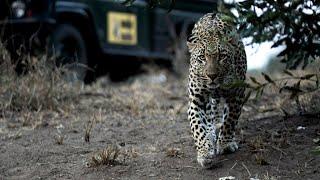 Mala Mala Realtime Leopard Sighting!