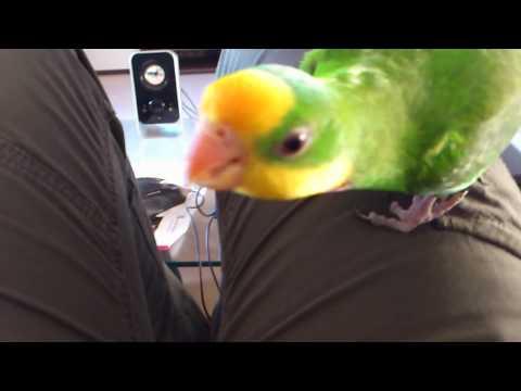 Schildsittich ( Superb Parrot )