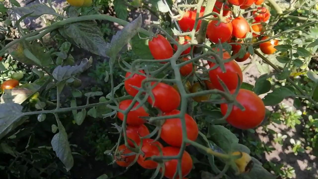 помидор туземец фото раздел