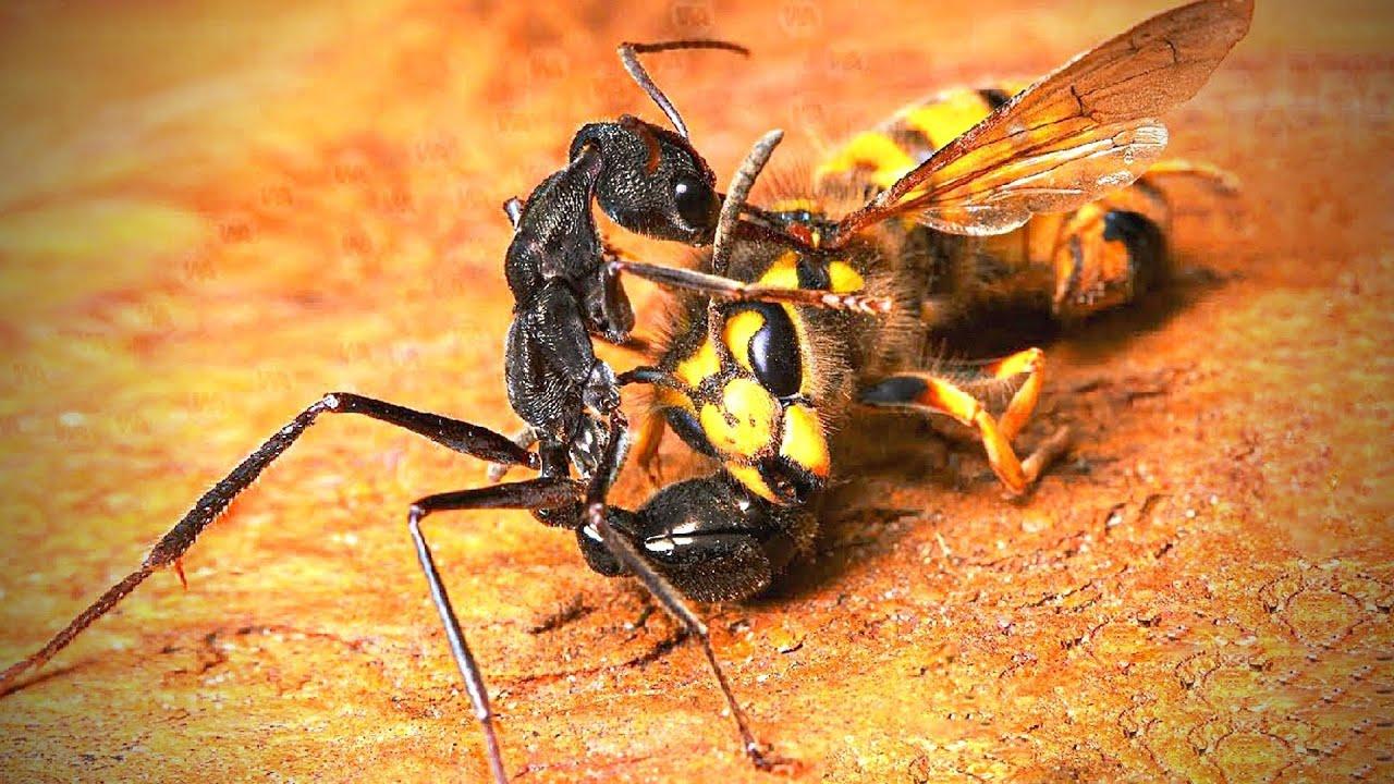 देखिए चींटियाँ शिकार कैसे करती है? This is How Ants Hunt Their Prey