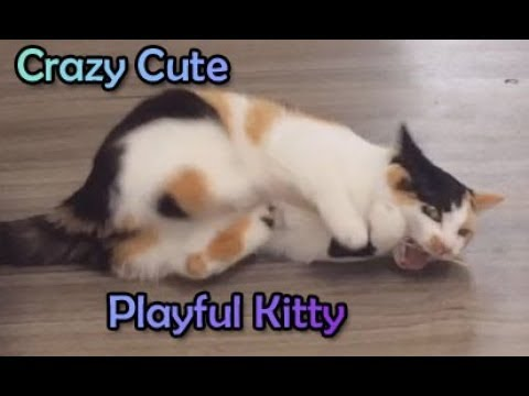 Funny crazy calico cat playing cute