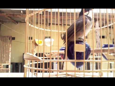 chào mào to con -Kênh về chim Chào mào của Triệu Triệu