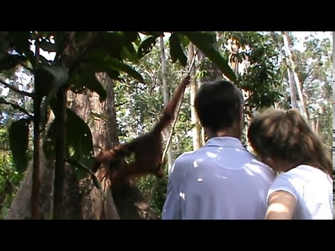 AMAZING ORANGUTAN TOUR IN KALIMANTAN INDONESIA