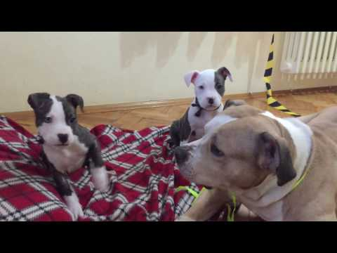 Pitbull Puppies Playing With Their Dad