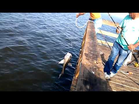 Big black drum kemah texas youtube for Texas parks and wildlife fishing report
