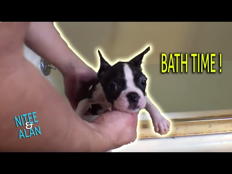 Bath time for 10-weeks Boston Terrier puppy