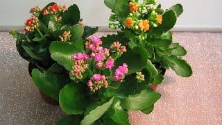 Народное лечение бородавок Каланхоэ.(Цветок жизни, комнатный женьшень, зеленая аптечка, домашний лекарь в вазоне — так в народе называют каланхо..., 2014-07-18T20:05:35.000Z)