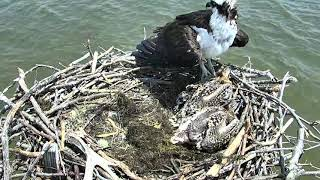Osprey Nest - Chesapeake Conservancy Cam 06-18-2018 10:10:02 - 11:10:03
