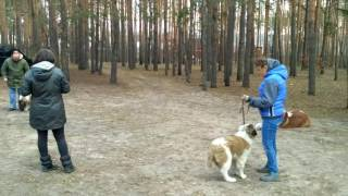 Учим щенков не поднимать корм с земли. Московская сторожевая.