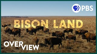 How Bison Are Saving America's Lost Prairie