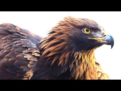 5 Amazing Facts About The Golden Eagle