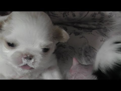 Japanese Chin puppies feeding - 21 days old in Close up HD