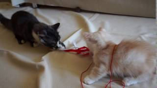 забавные котята манчкин веселятся( funny munchkin kittens having fun)