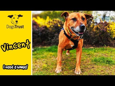 Vincent the Staffordshire Bull Terrier Cross is Looking for a Home! | Dogs Trust Loughborough