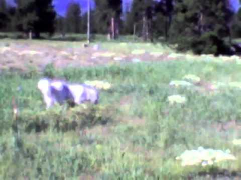 Gypsy, the Great pyrenees/Akbash dog