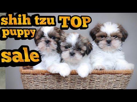 Shitzu puppy sale