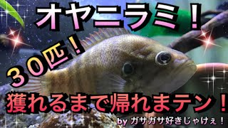 【アクアリウム】ガサガサ好きじゃけぇ!オヤニラミ30匹獲れるまで帰れまテン!【オヤニラミ】【広島】