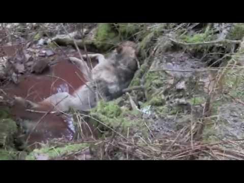 2014 Idaho Panhandle Wolf hunt Brandon Pitcher ep 5