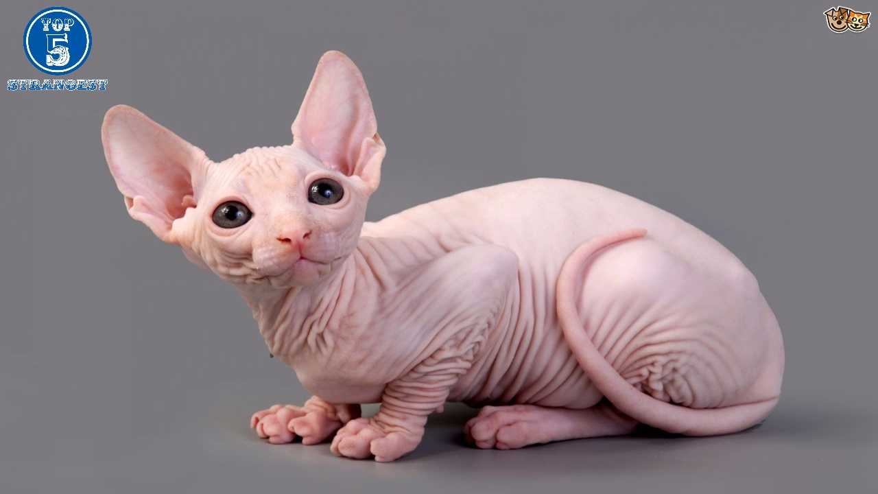 Top 5 weirdest cat breeds in the world 😱😱😱