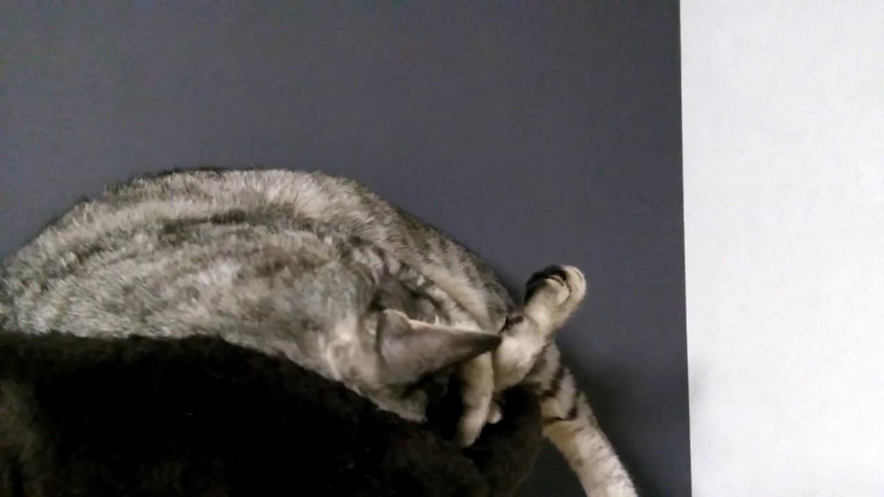 キャットタワーの上で眠るクセがすごい猫!! Sleep Munchkin Cat