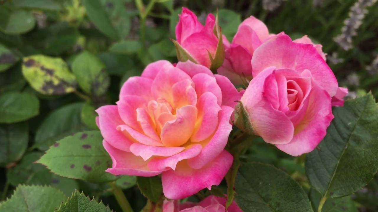 Image result for pink roses in garden