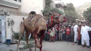 Camel qurbani 2009   (Rated-R)