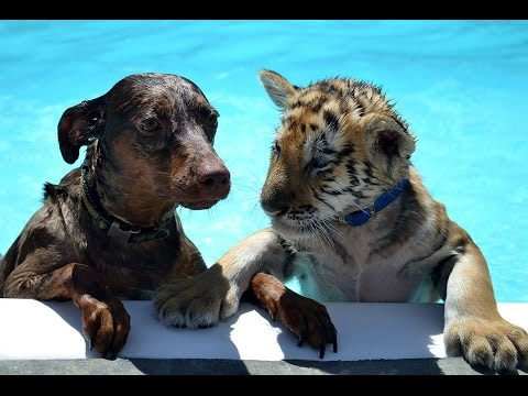 Cute Tiger & Puppy unlikely friends play together & Swim