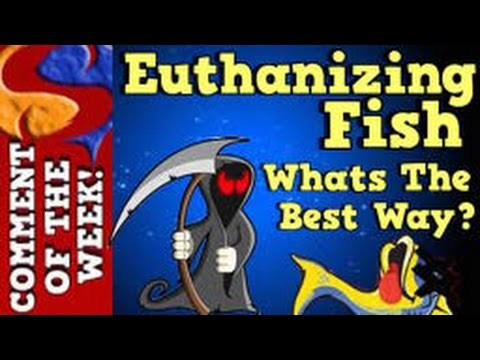 The Best Way To Euthanize Fish? Comment Of The Week Episode 4