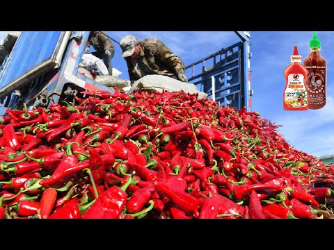 Red Chilli Pepper Harvest - Chili Powder Processing in Factory - How chili sauce is made