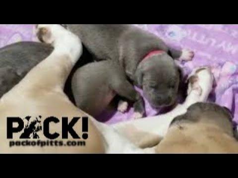 Divine Pitbull Puppies Nurse