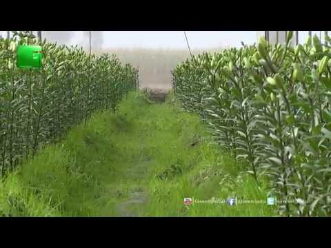 Cash Crops (Nakadi Faslein): Lily Farming Studio Discussion