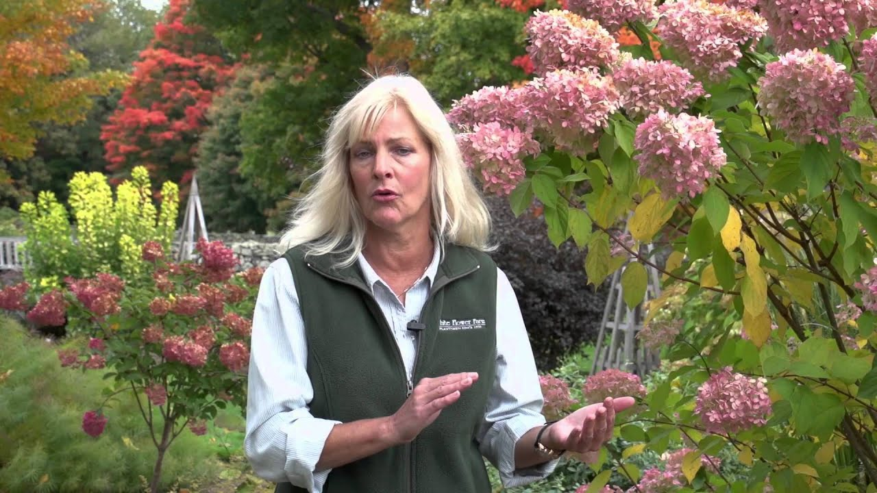 Pruning Hydrangeas Youtube