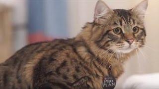 Сибирская кошка ➠ Узнайте все о породе котов