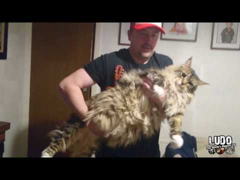 How long can I hold a 35 pound Maine Coon?