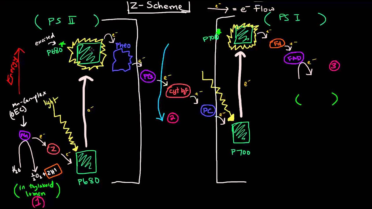 Photosynthesis part 2 of 3 light reactions z scheme and photosynthesis part 2 of 3 light reactions z scheme and photophosphorylation youtube ccuart Choice Image