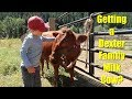 Getting A Dexter Family Milk Cow mp3