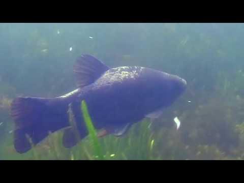О чем молчат рыбы.41 Как живет линь