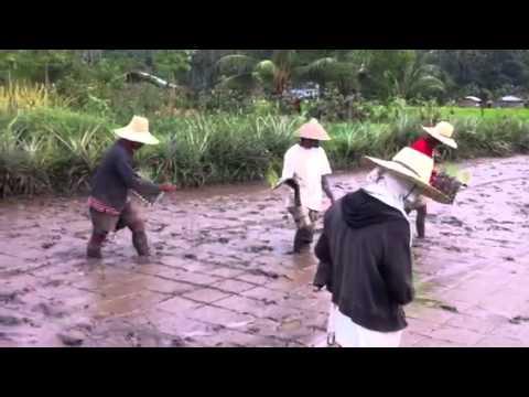 Modified Organic System of Rice Intensification (MOSRI)